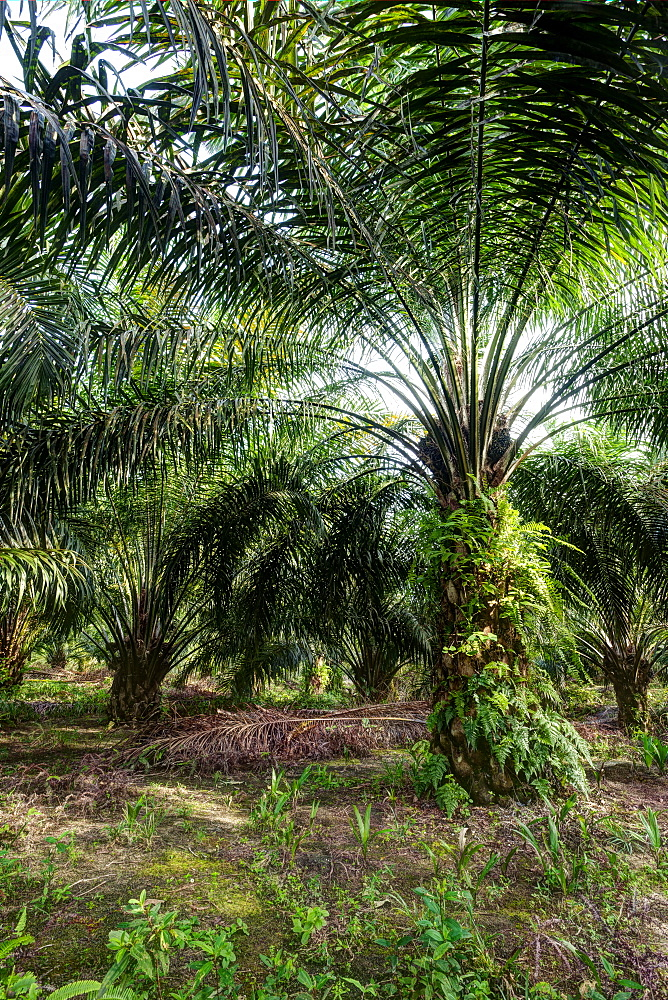 African oil palm (Elaeis guineensis) in an oil palm plantation. HDR photo. East Kalimantan, Borneo, Indonesia, Southeast Asia, Asia - 918-33