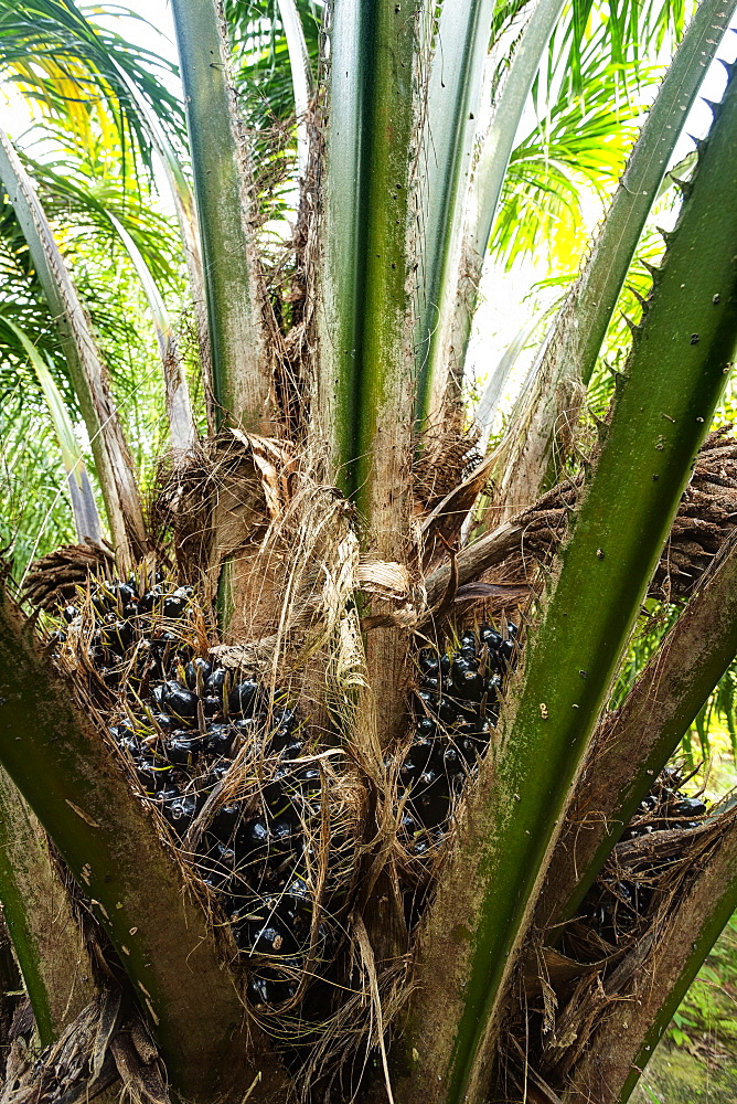 Fruit of African oil palm (Elaeis guineensis). HDR photo, East Kalimantan, Borneo, Indonesia, Southeast Asia, Asia