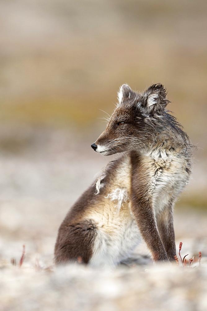 Arctic Fox (Vulpes lagopus) (Alopex lagopus), Svalbard, Norway, Scandinavia, Europe - 918-40