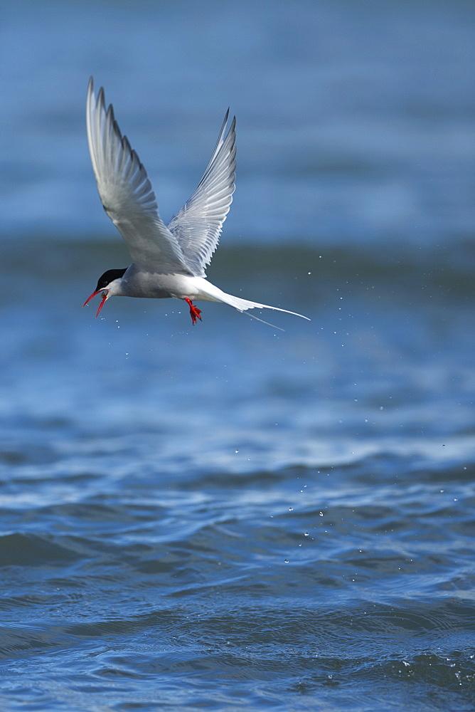 Arctic Tern (Sterna paradisaea), Svalbard, Norway, Scandinavia, Europe - 918-43