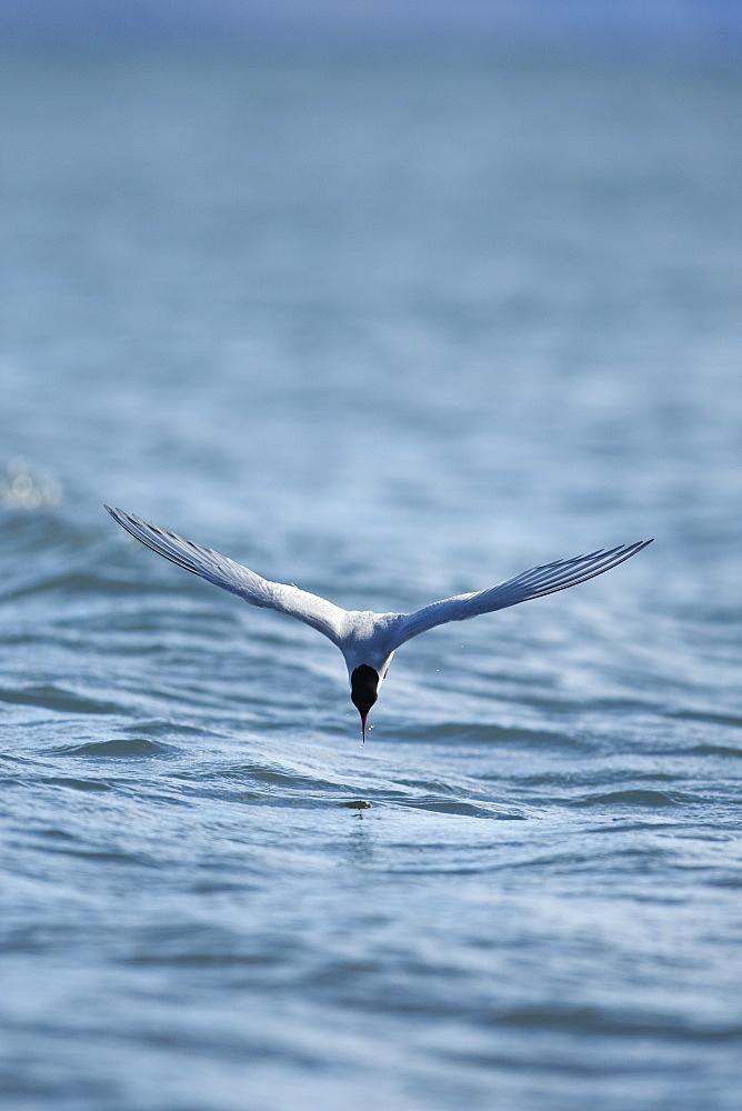 Arctic Tern (Sterna paradisaea), Svalbard, Norway, Scandinavia, Europe - 918-44