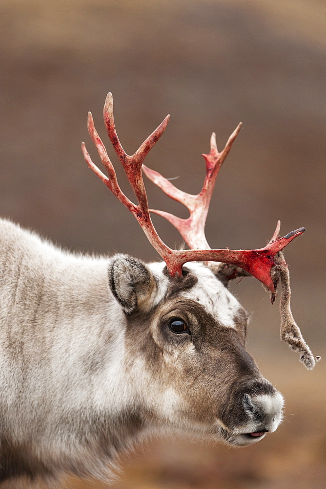 Svalbard reindeer (Rangifer tarandus platyrhynchus), Svalbard, Norway, Scandinavia, Europe - 918-74