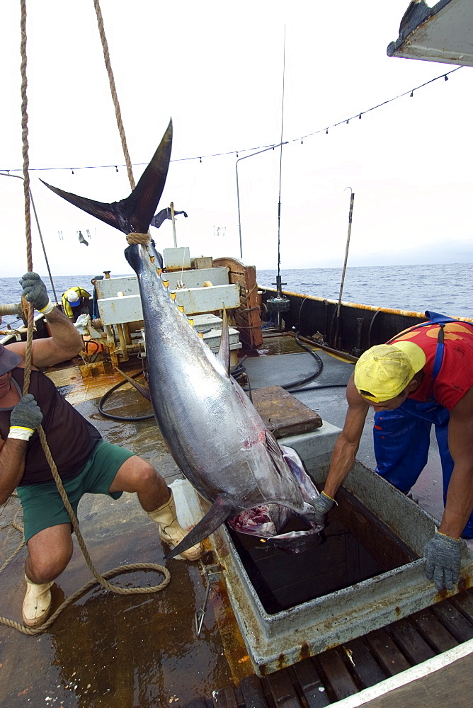 Fishermen lower yellowfin tuna (Thunnus albacares) into freezer, offshore commercial longline tuna fishing, Brazil, South America