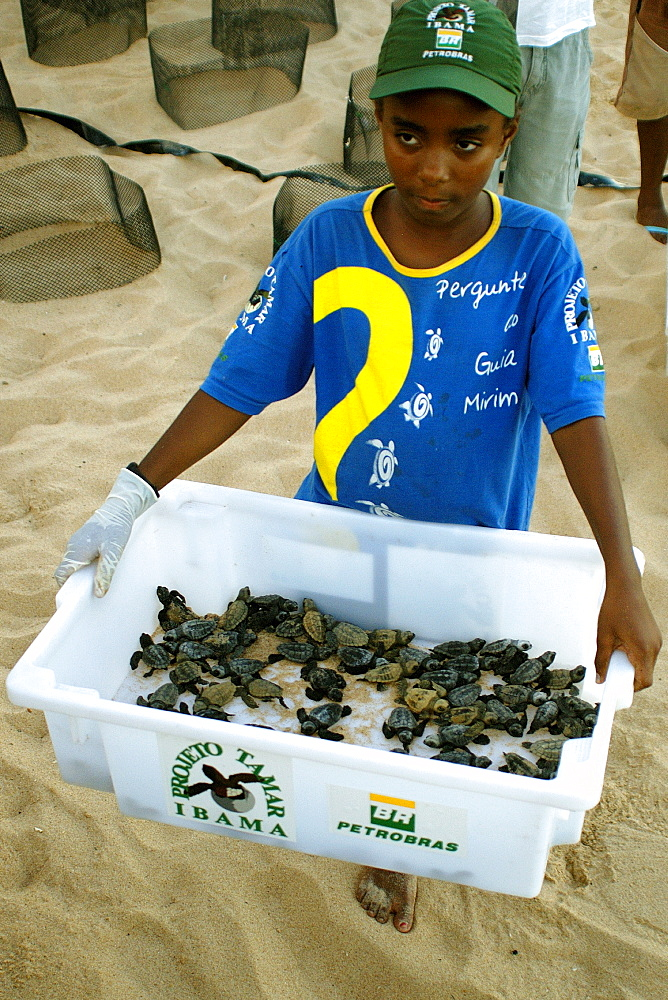 Young volunteer displays bin with loggerhead turtle (Caretta caretta) hatchlings prior to release into the ocean, Center for sea turtle protection, TAMAR project, Praia do Forte, Bahia, Brazil, South America