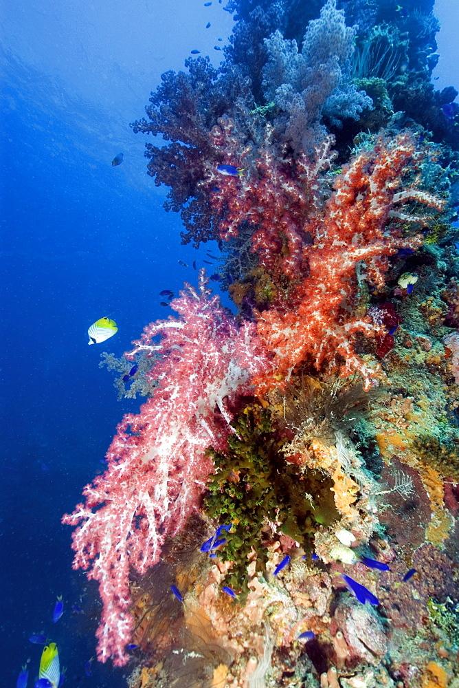 Mast encrusted with soft coral (Dendronephthya sp.), Shinkoku Maru, Truk lagoon, Chuuk, Federated States of Micronesia, Caroline Islands, Micronesia, Pacific Ocean, Pacific