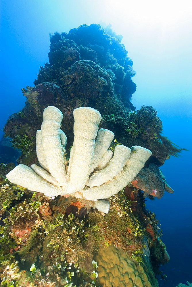 Vase sponges attached to the external structure of the Fujikawa Maru, Truk lagoon, Chuuk, Federated States of Micronesia, Caroline Islands, Micronesia, Pacific Ocean, Pacific