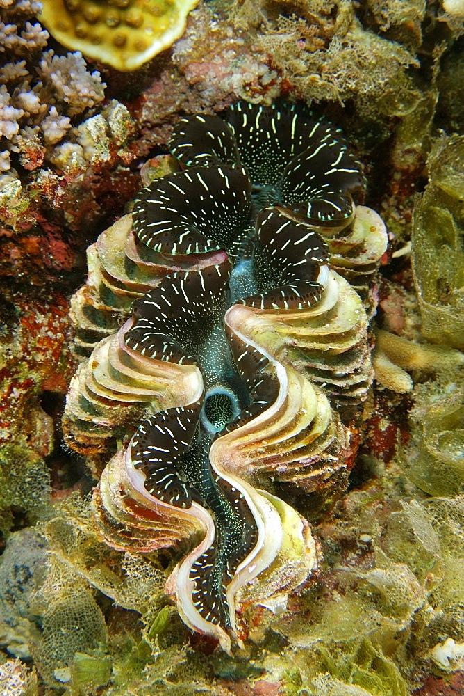 Giant fluted clam (Tridacna squamosa), Namu atoll, Marshall Islands, Pacific