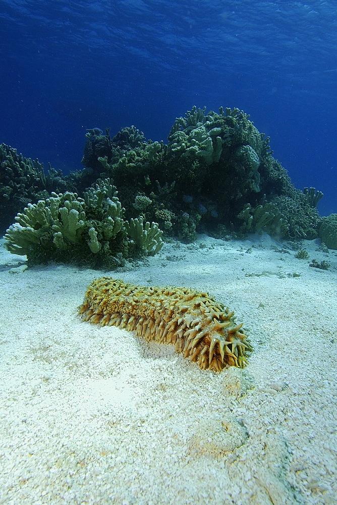 Giant sea cucumber (Thelenota ananas), Namu Atoll,  Marshall Islands, Pacific