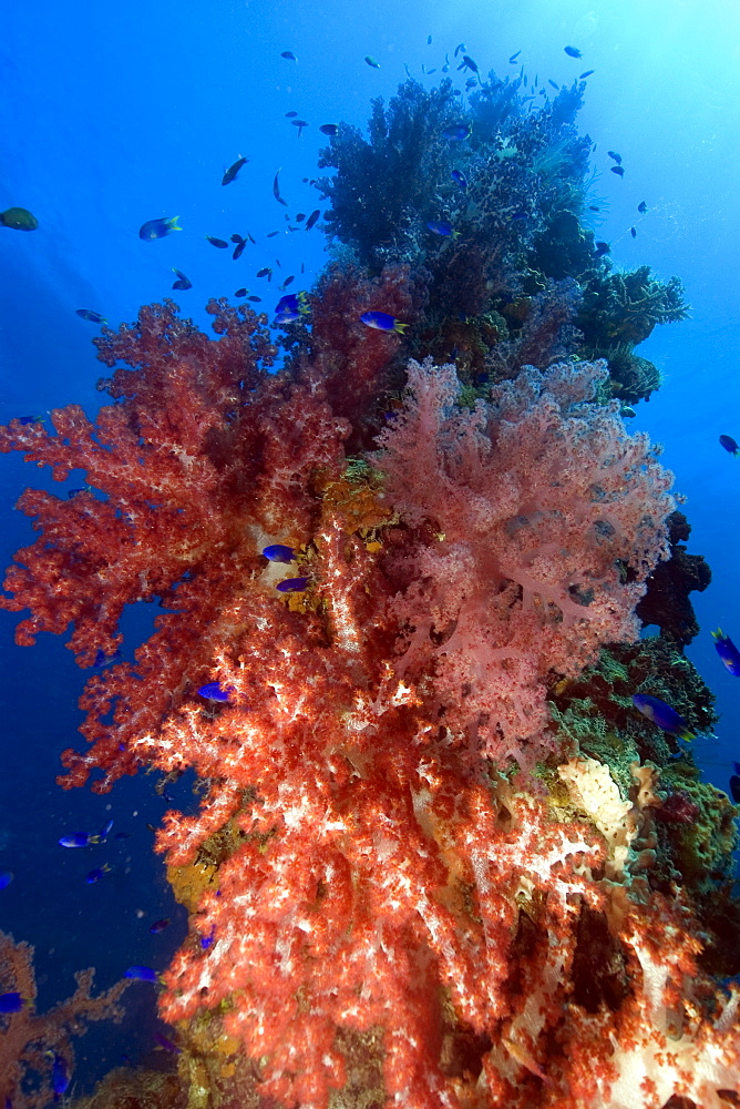 Mast encrusted with soft coral (Dendronephthya sp.), Shinkoku Maru, Truk lagoon, Chuuk, Federated States of Micronesia, Caroline Islands, Micronesia, Pacific Ocean, Pacific