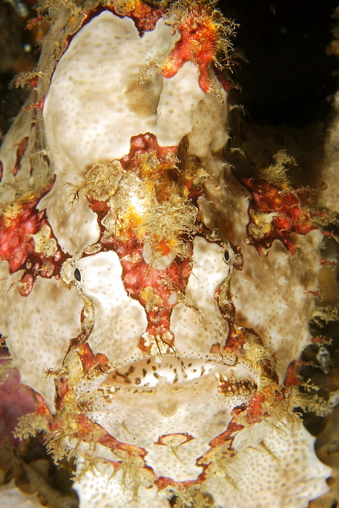 Giant frogfish (Antennarius commersoni), head detail, Puerto Galera, Mindoro, Philippines, Southeast Asia, Asia