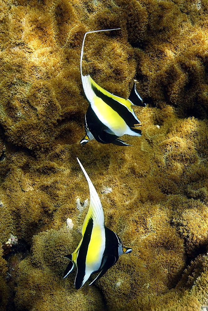 Pair of moorish idols (Zanclus cornutus) swimming over coral (Rhodactis howsii), Namu atoll, Marshall Islands, Pacific