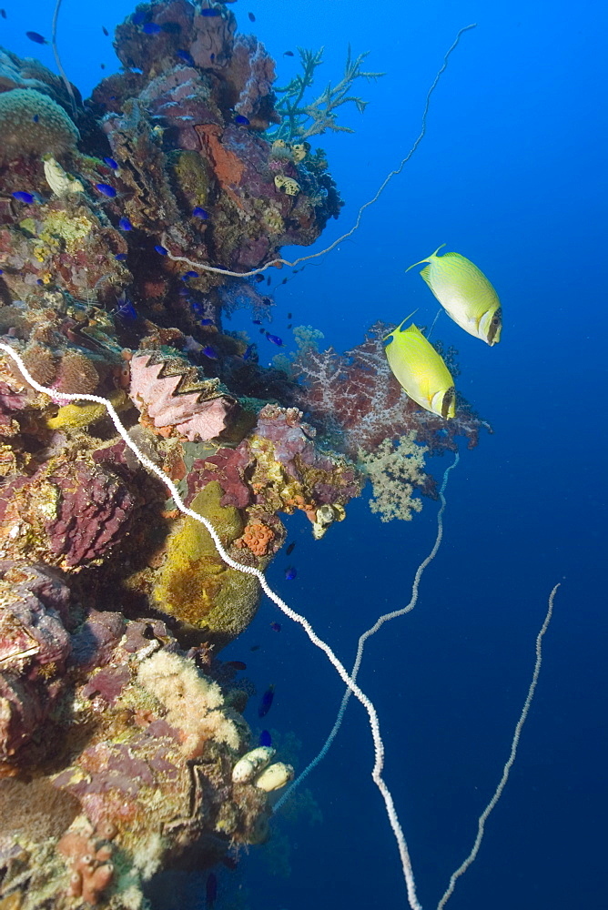 Pair of masked rabbitfish (Siganus puellus) swimming over mast encrusted with coral, Shinkoku Maru, Truk lagoon, Chuuk, Federated States of Micronesia, Caroline Islands, Micronesia, Pacific Ocean, Pacific