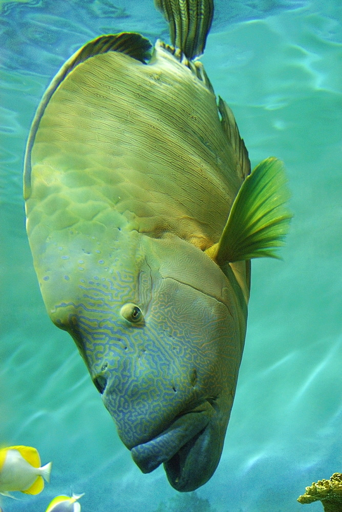 Humphead wrasse (Cheilinus undulatus), vulnerable species  found in the Indo-Pacific Oceans, photo taken in captivity