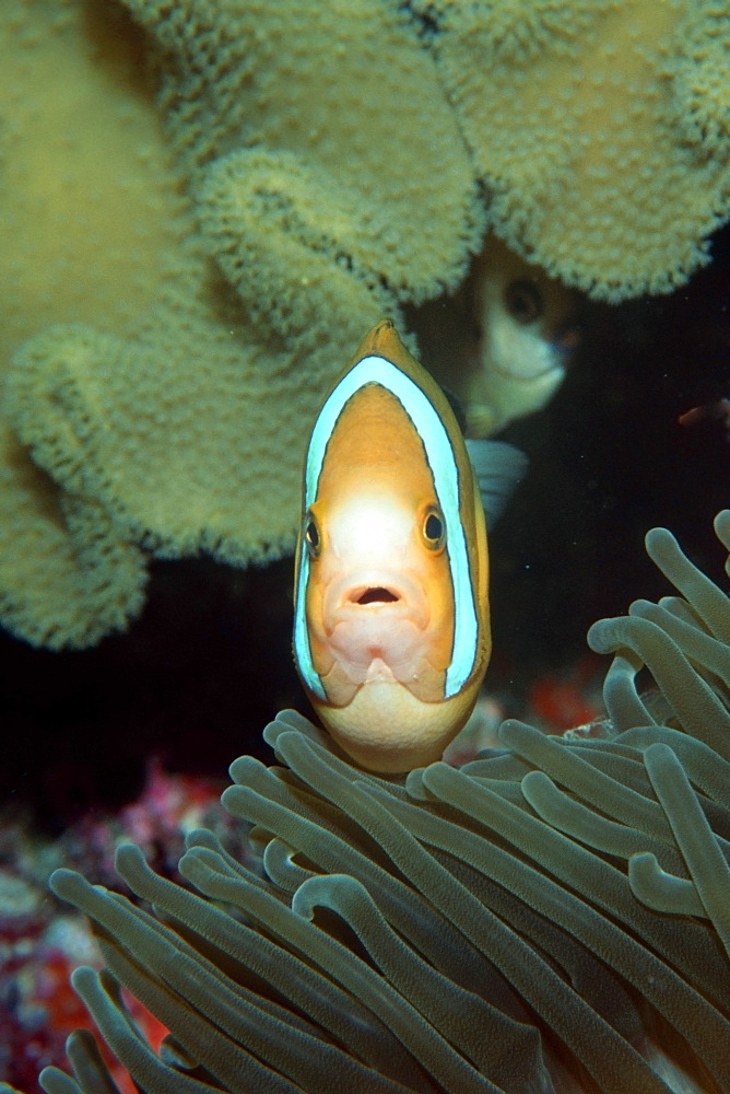 Anemonefish (Amphiprion sp.) defending nest, Mili, Marshall Islands, Pacific