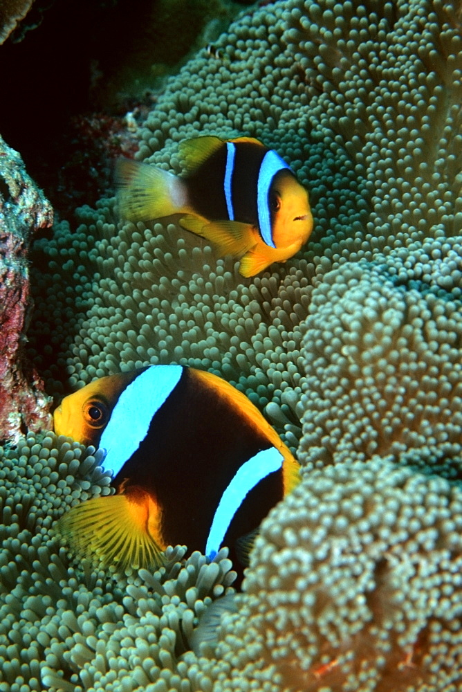 Orangefin anemonefish (Amphiprion chrysopterus), Mili, Marshall Islands, Pacific