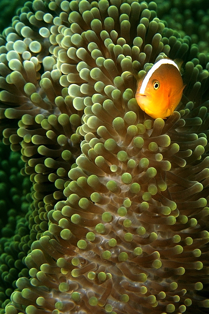 Orange anemone fish (Amphiprion sandaracinos) and Merten's sea anemone (Stichodactyla mertensii), Dauin, Dumaguete, Negros Island, Philippines, Southeast Asia, Asia