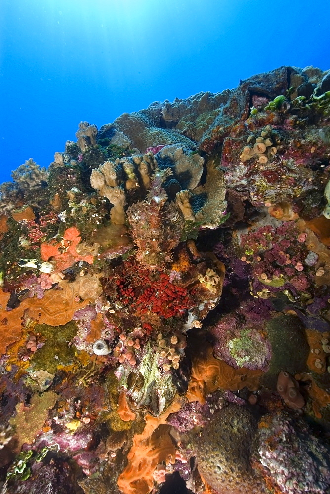 Scorpionfish,  Scorpaenopsis sp., rests on the bow of the Fujikawa Maru encrusted with sponges corals and ascidians, Truk lagoon, Chuuk, Federated States of Micronesia, Caroline Islands, Micronesia, Pacific Ocean, Pacific