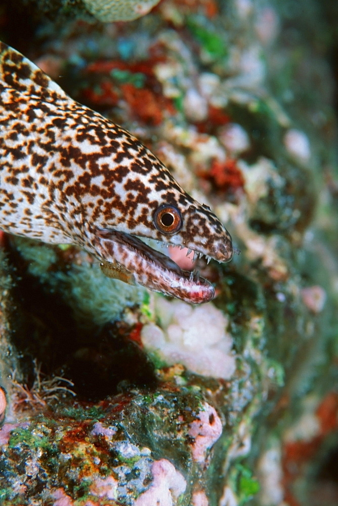 Stout moray (Gymnothorax eurostus), Kailua-Kona, Hawaii, United States of America, Pacific