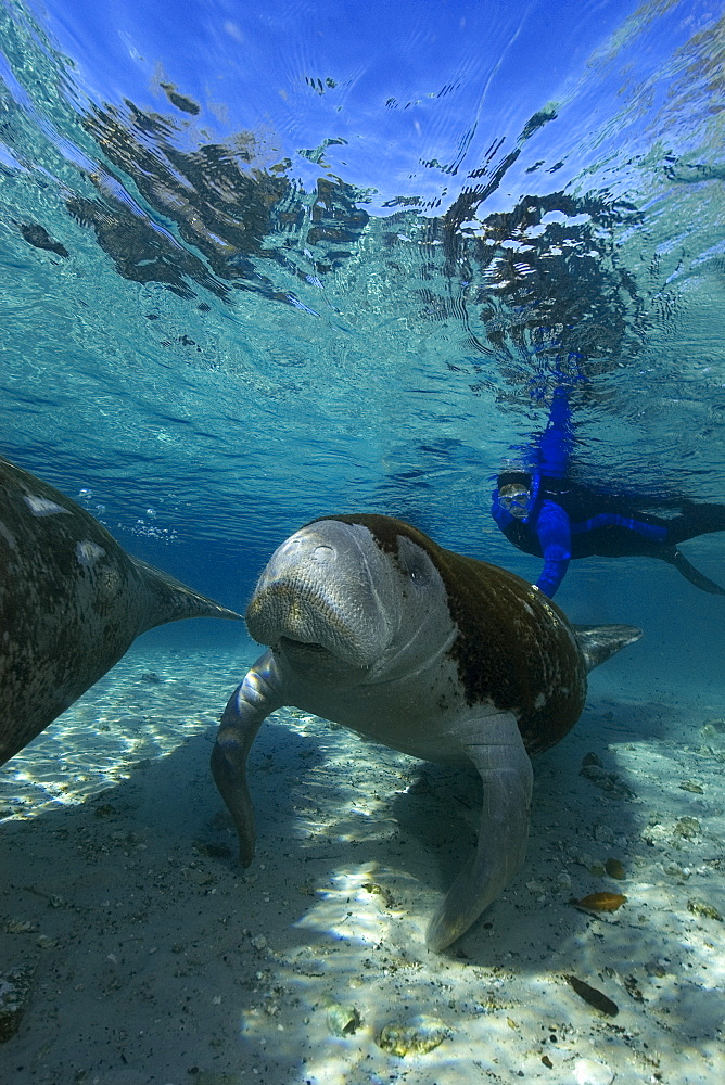 Free diver observes Florida manatee (Trichechus manatus latirostrus), Crystal River, Florida, United States of America, North America
