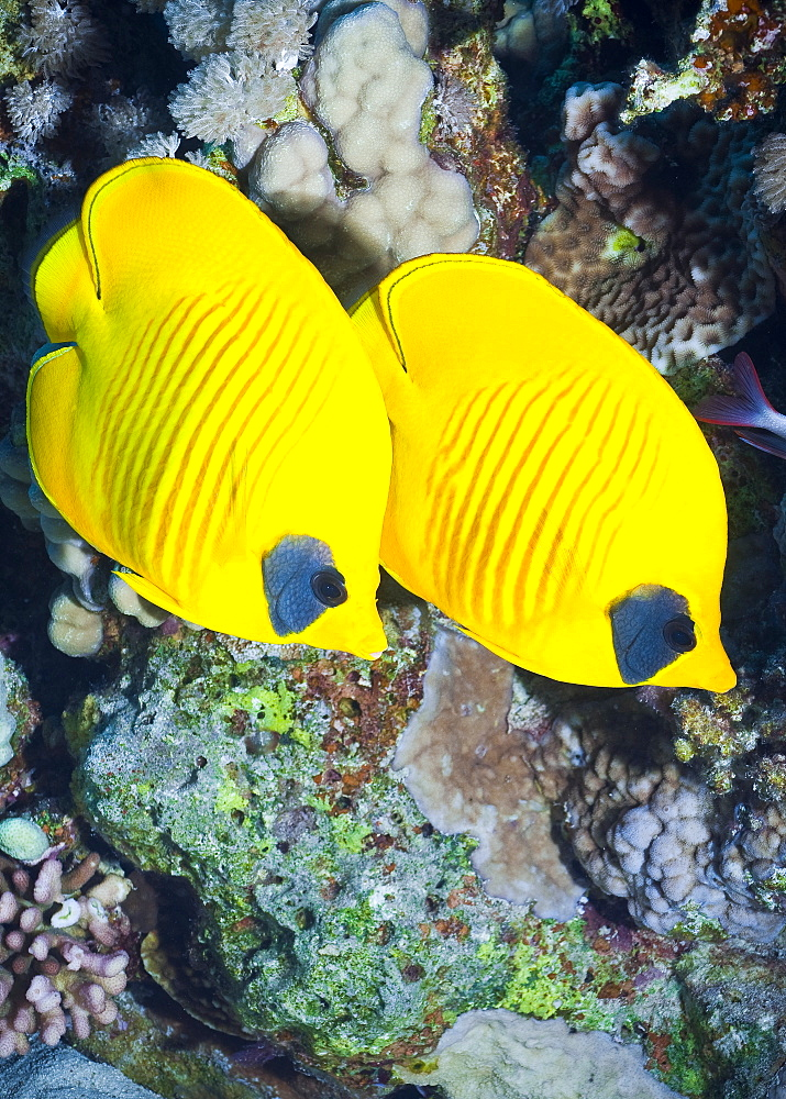 Masked Butterflyfish (Chaetodon Semilarvatus) Under water , diving, Hurghada, Red Sea, Egypt, Africa.