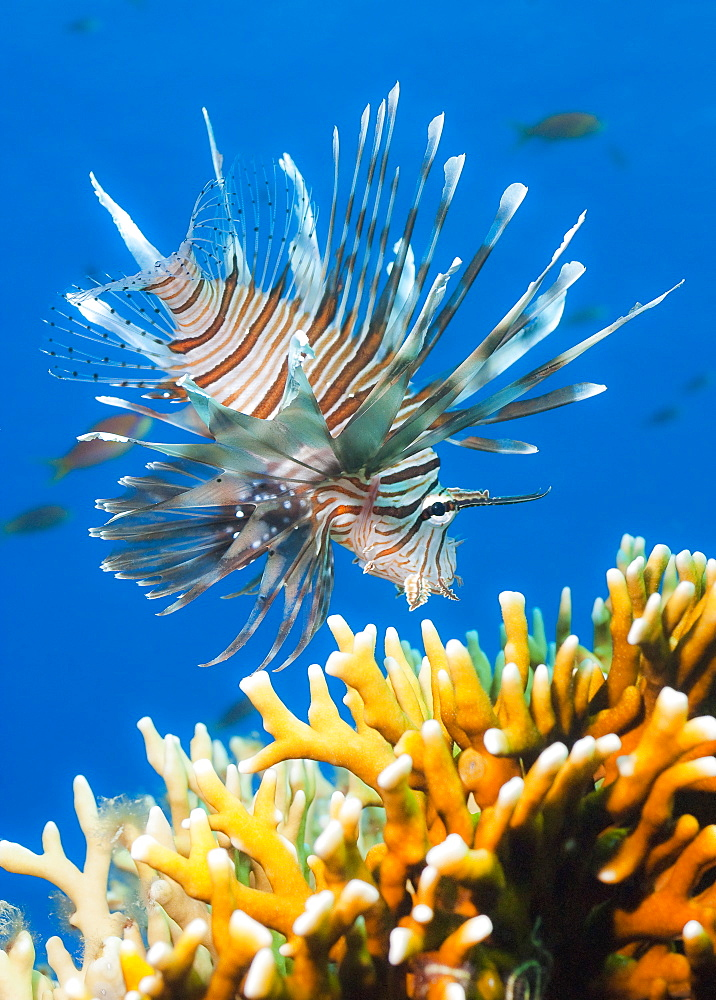 Common Lionfish (Pterois miles) Under water , diving, Hurghada, Red Sea, Egypt, Africa.