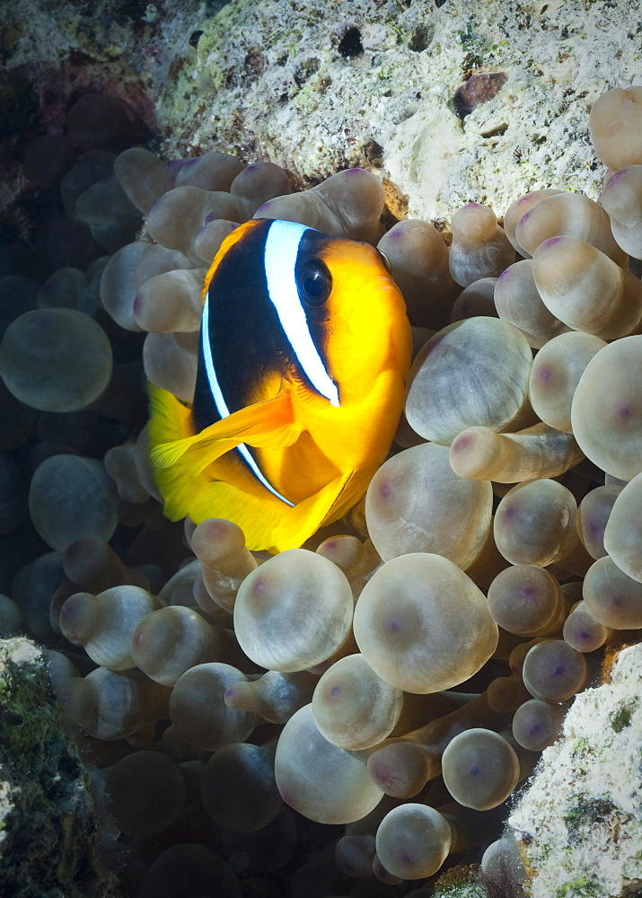 Red Sea Anemonefish (Amphiprion Bicinctus) Under water , diving, Hurghada, Red Sea, Egypt, Africa.