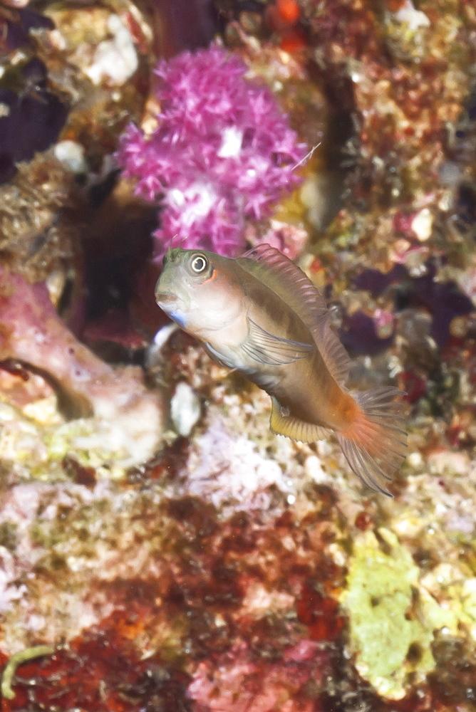 Midas blenny (Ecsenius), Southern Thailand, Andaman Sea, Indian Ocean, Southeast Asia, Asia - 921-1309