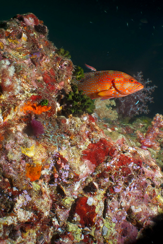 Coral hind (cephalopholis), Southern Thailand, Andaman Sea, Indian Ocean, Southeast Asia, Asia - 921-1333