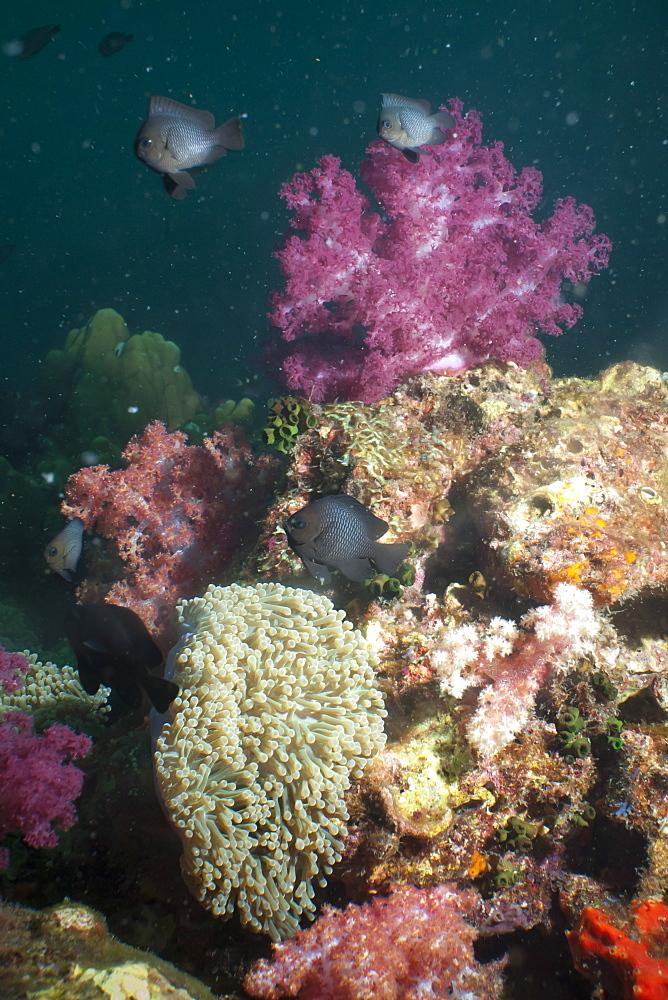 Dark damsel (Pomacentrus albicaudatus), SouthernThailand, Andaman Sea, Indian Ocean, Southeast Asia, Asia - 921-1334