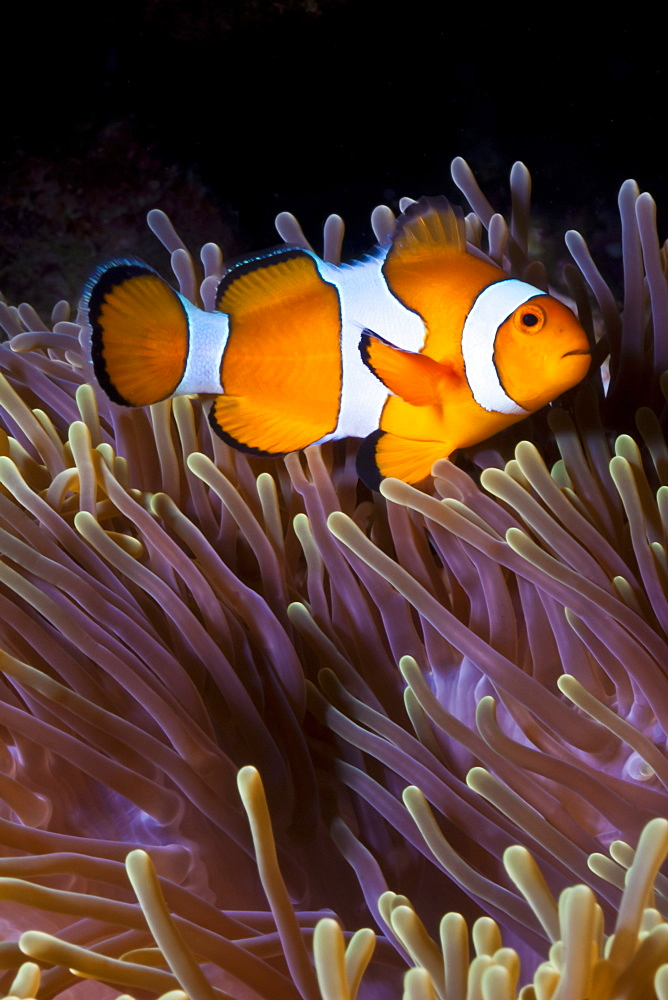 Western clown anemonefish (Amphiprion ocellaris) and sea anemone (Heteractis magnifica), Southern Thailand, Andaman Sea, Indian Ocean, Southeast Asia, Asia - 921-1352