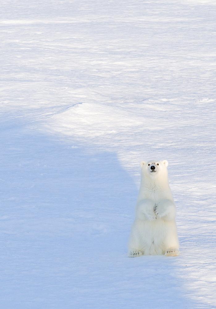 Polar Bear (Ursus maritimus). Longyearbyen, Svalbard, Norway