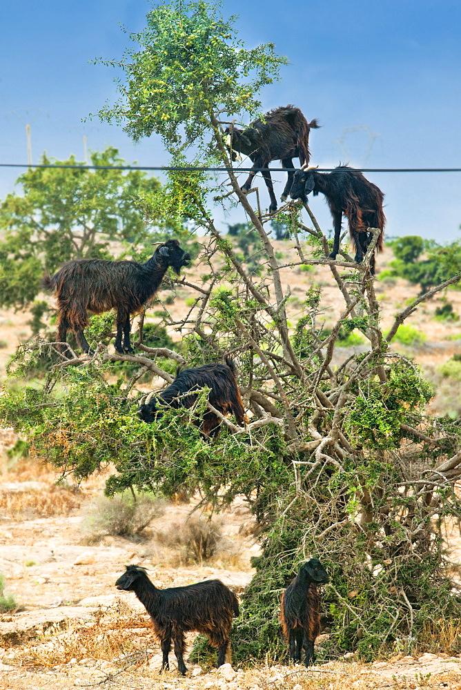 Tree Goats. Agadir, Countryside, Agadir. Morocco