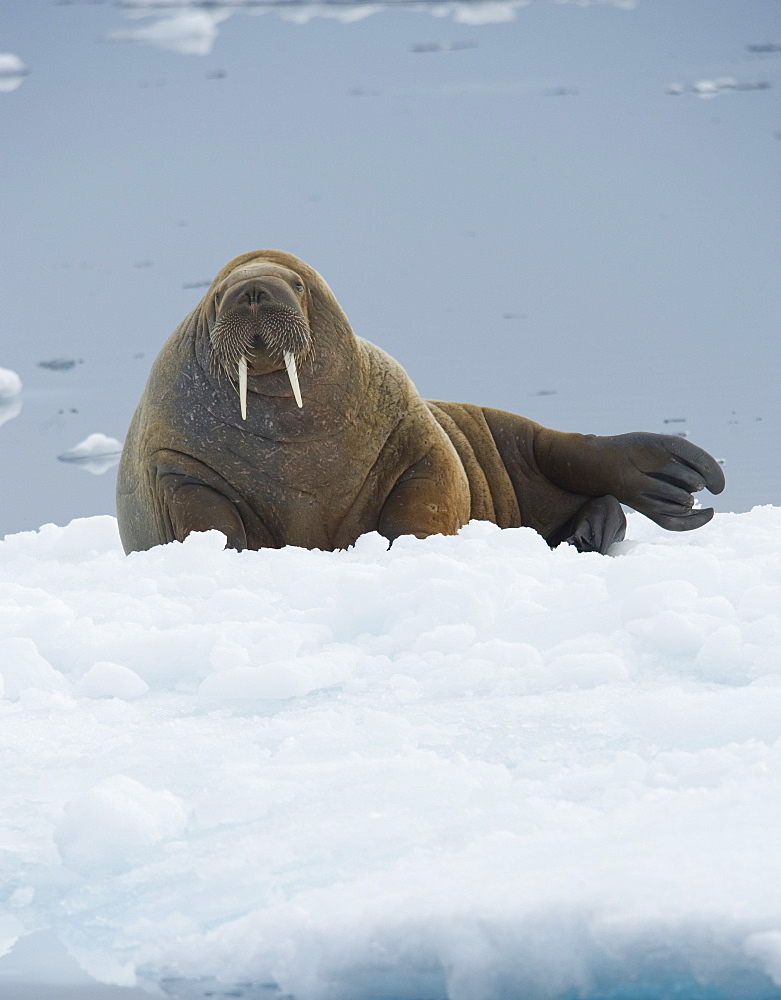 Walrus (Odobenus rosmarus). Longyearbyen, Far Northern Ice Sheets, Svalbard, Norway