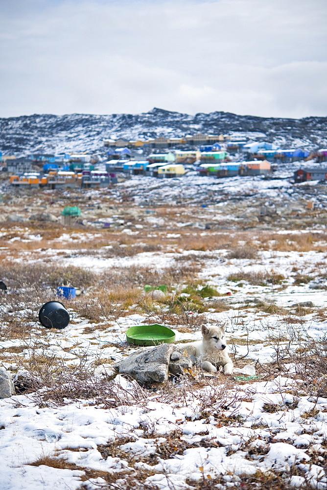 husky puppy. Ilulissat, Jakobshavn, Greenland (Denmark), North America