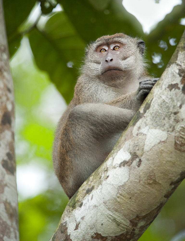 Wild Adult Male Long Tailed Macaque (Macaca Fascicularis).  Kinabatanga Jungle, Sabah, Boneo, Asia