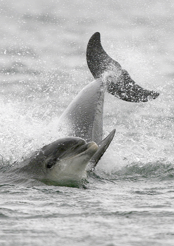 Two Bottlenose dolphins (Tursiops truncatus truncatus) play fighting with the head of one and tail of the other showing at the surface. Moray Firth, Scotland   (RR) - 930-14