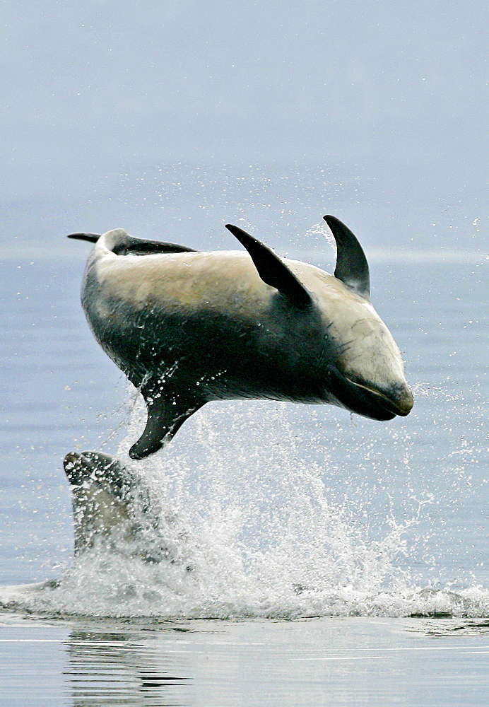 A Bottlenose Dolphin (Tursiops truncatus) breaches inverted from the Moray Firth, Scotland. - 930-17
