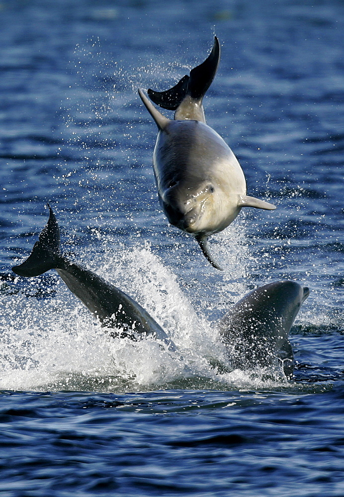3 young Bottlenose Dolphin calves (Tursiops truncatus) having fun together. Moray Firth, Scotland. - 930-18