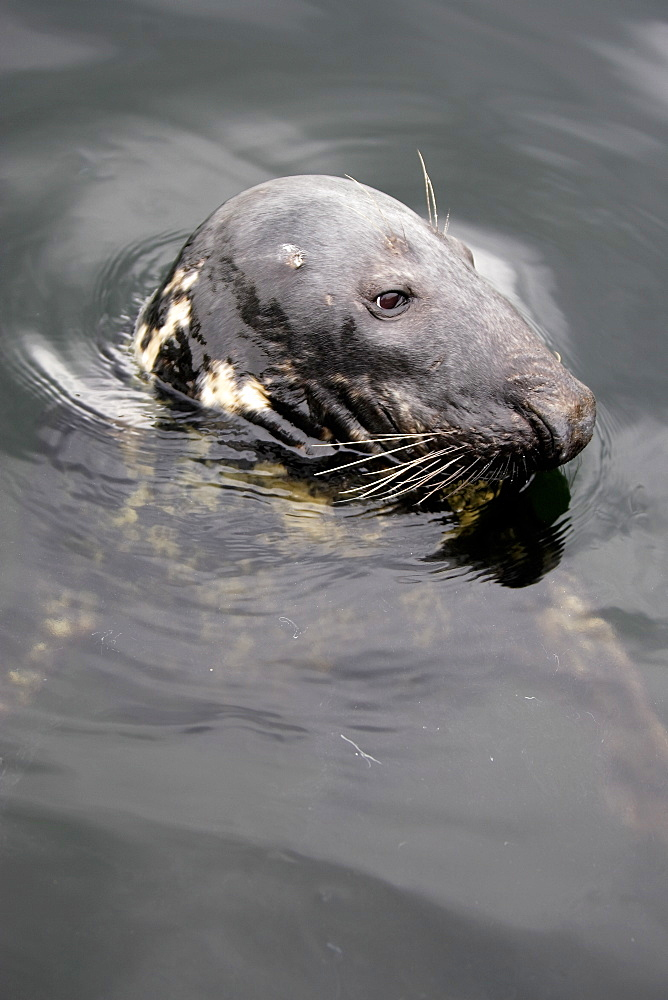 A curious bull Grey Seal (Halichoerus grypus)  in Gairloch Harbour, Scotland. - 930-62