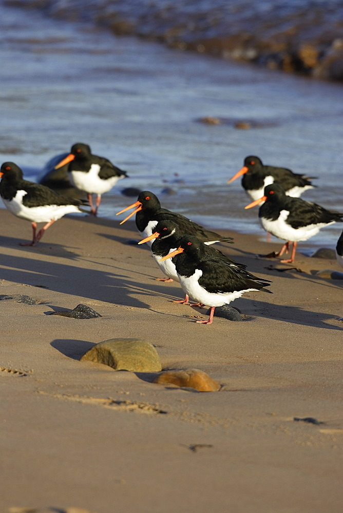 A group of Oystercatcher (Haematopus ostralegus) on a sand beach, Rosemarkie, Scotland. - 930-78