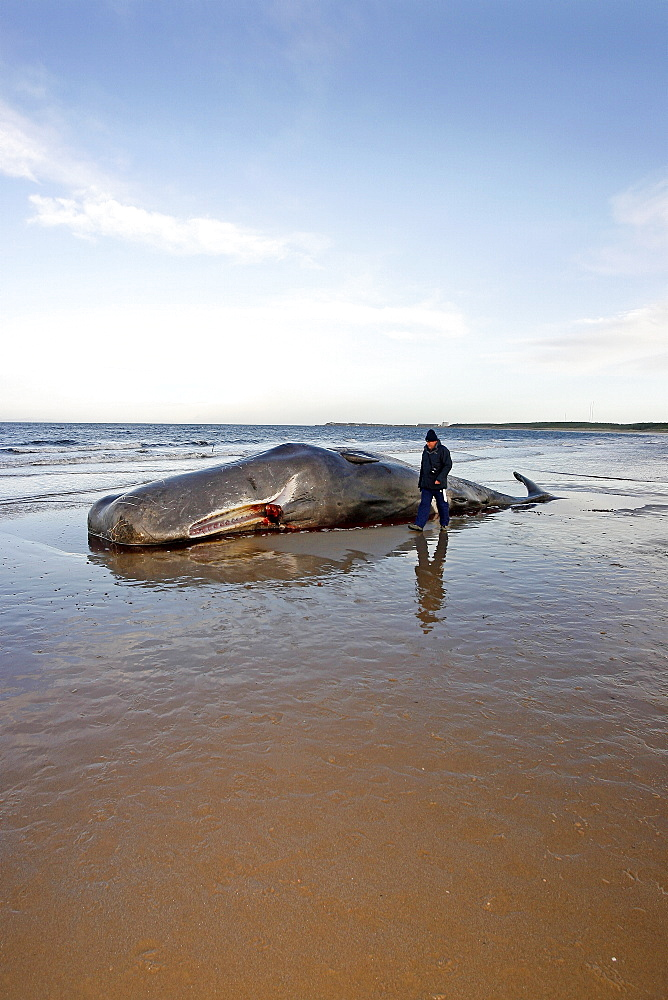 An onlooker watching a stranded dead bull Sperm Whale (Physeter macrocephalus) lying on Roseisle Beach, North East Scotland.