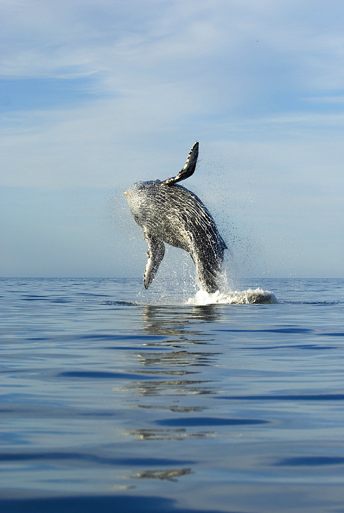 Humpback whale (megaptera novaeangliae) Gulf of California. Like a dancer, a breaching humpback whale. - 931-194