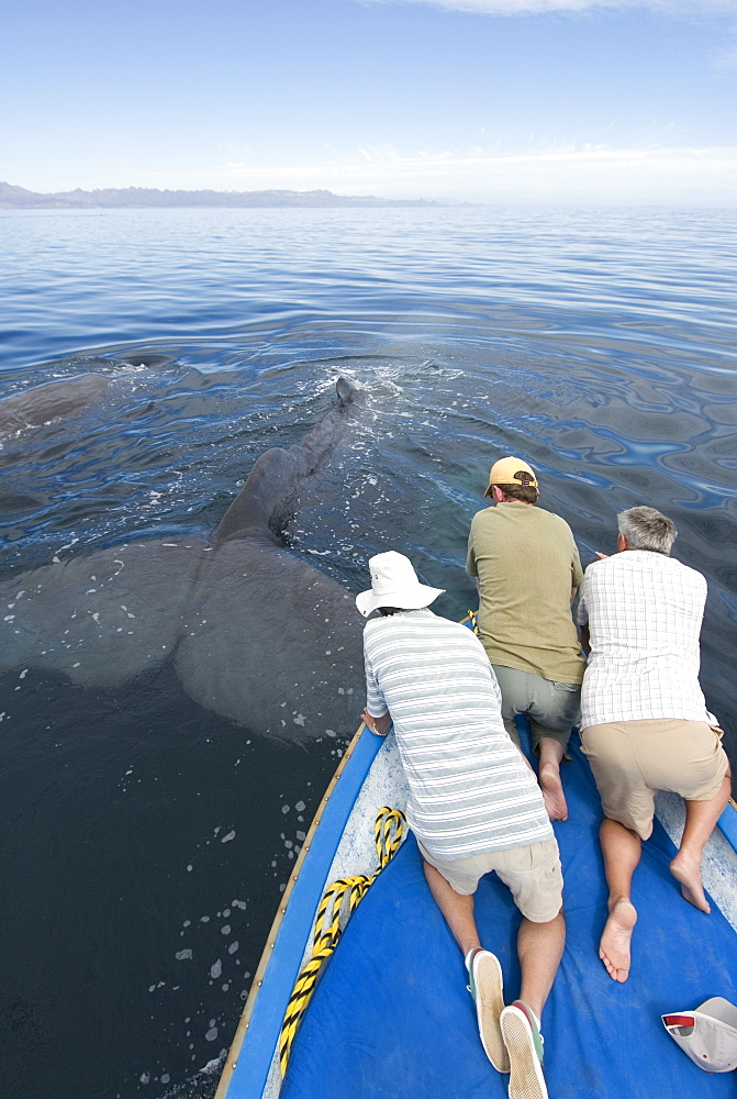 Sperm whale (physeter macrocephalus) Gulf of California. Th etail of a sperm whale stretched out beside a small boat.
