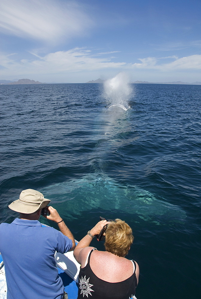 Blue whale (balaenoptera musculus) Tourists photographing a blue whale. The Gulf of California.