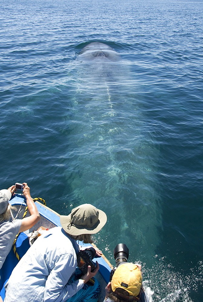 Blue whale (balaenoptera musculus) A blue whale passes underneath tourists in a small boat. The Gulf of California.