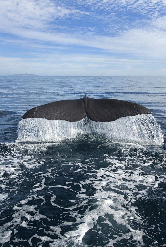 Sperm whale (physeter macrocephalus) A sperm whale tail. Gulf of California).