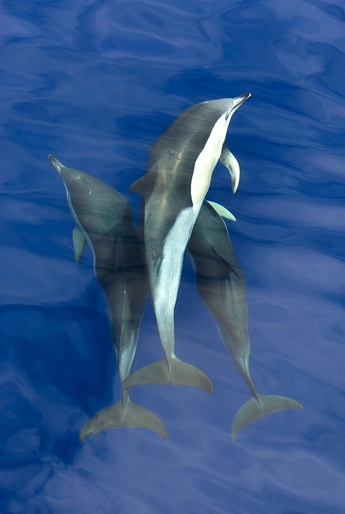 Common dolphins (Delphinus delphis) close together, Azores, Portugal, Atlantic, Europe - 931-547