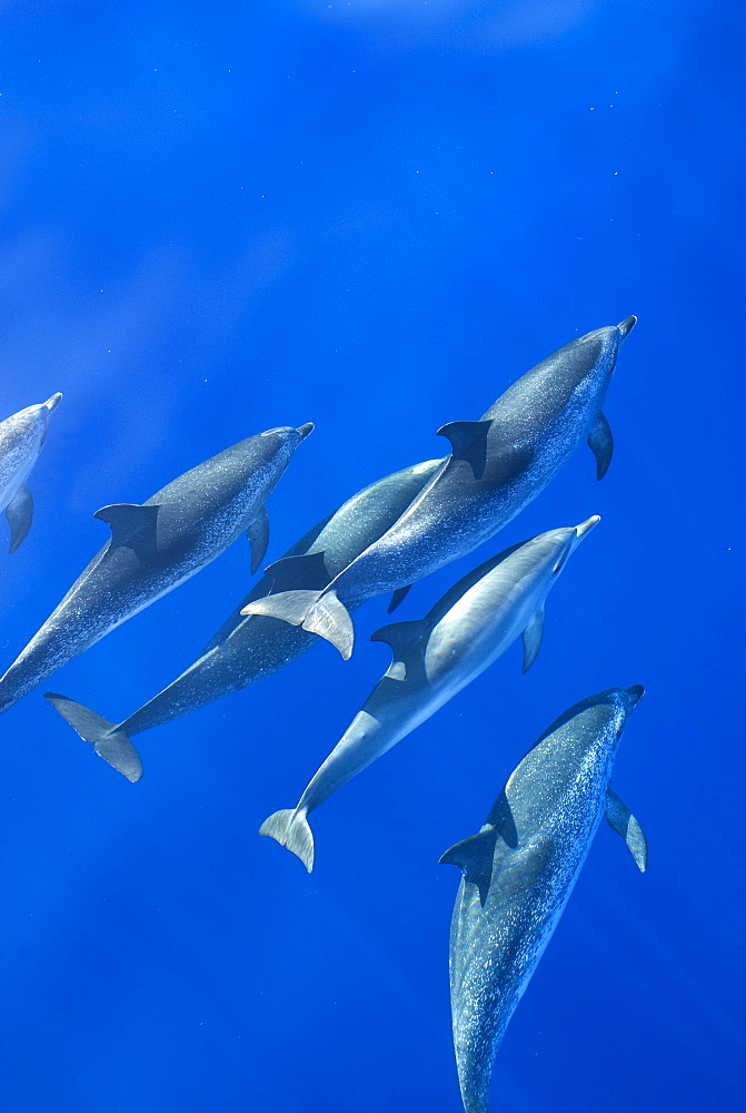 Spotted dolphins (Stenella frontalis) in silky water, Azores, Portugal, Atlantic, Europe - 931-553