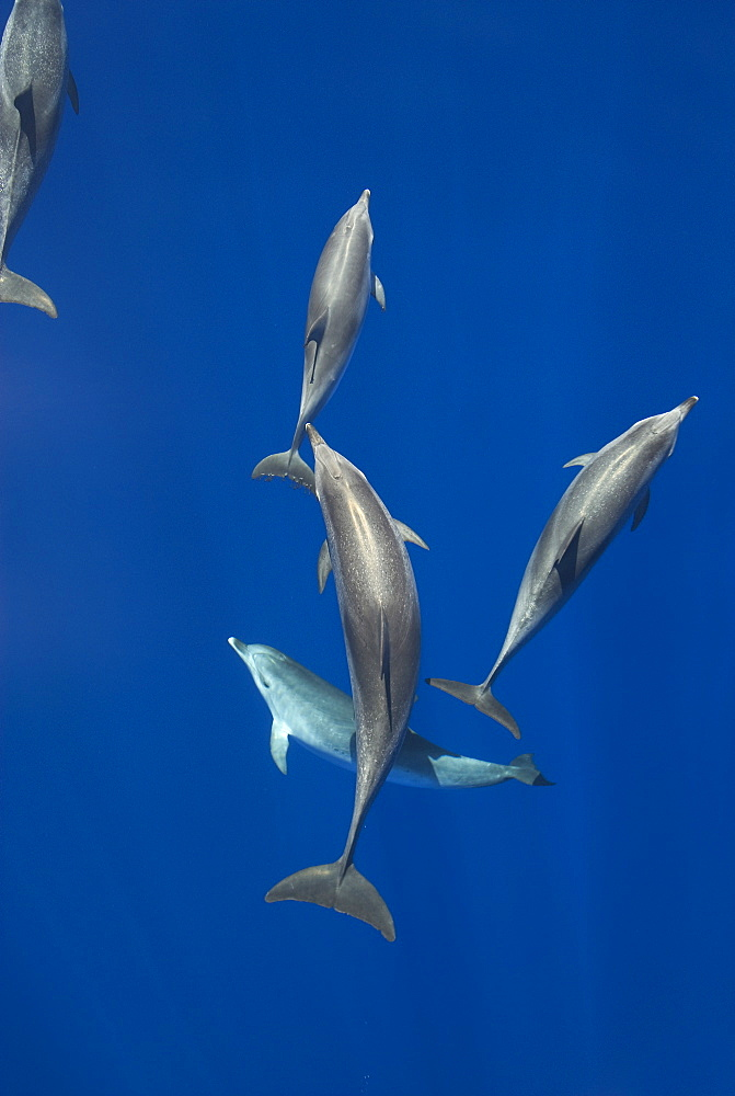 Spotted dolphins (Stenella frontalis) in silky water, Azores, Portugal, Atlantic, Europe - 931-555