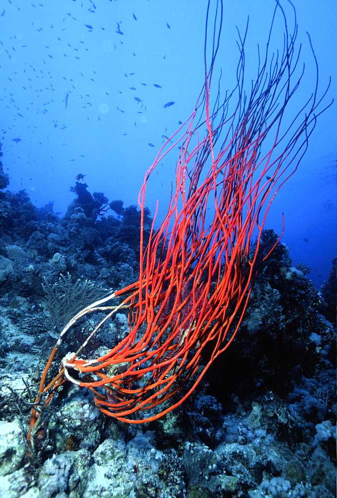 Red coral on sea bed